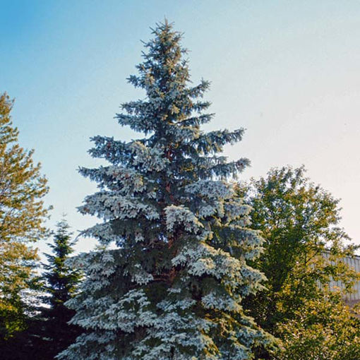 Picture of Blue Wonder Colorado Blue Spruce