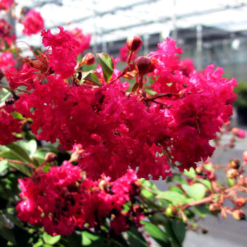 Picture of Infiniti® Watermelon Crapemyrtle