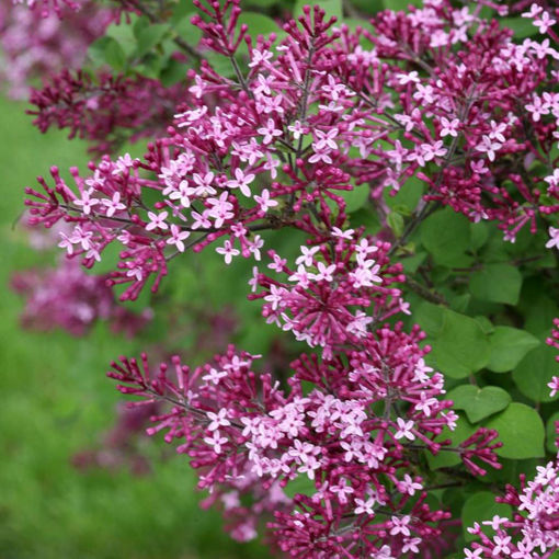 Picture of Bloomerang® Dark Purple Lilac