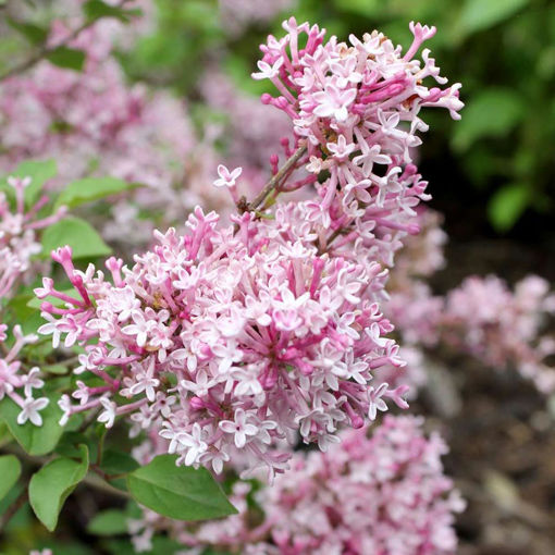 Picture of Scent and Sensibility™ Pink Lilac