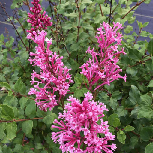 Picture of Bloomerang® Dwarf Pink Lilac