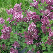 Picture of Bloomerang® Dwarf Purple Lilac