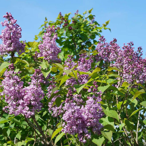 Picture of Scentara® Double Blue Lilac