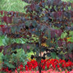 Picture of Forest Pansy Redbud