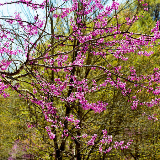Picture of Appalachian Redbud