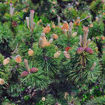 Picture of Mugo Pine