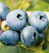 Bluecrop Blueberry - Vaccinium corymbosum Bluecrop shrub