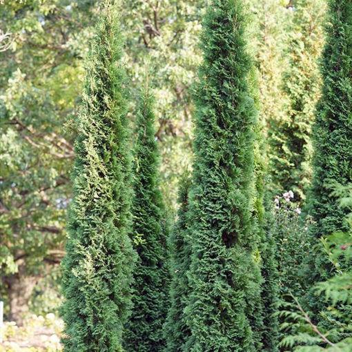 Picture of Thin Man Thuja Arborvitae