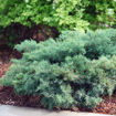 Picture of Montana Moss Juniper