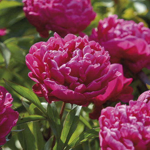 Picture of Karl Rosenfield Peony