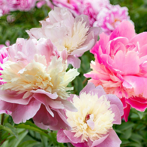 Picture of Sorbet Peony