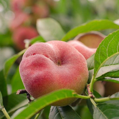 Picture of Redglobe Peach