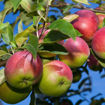 Picture of McIntosh Apple