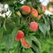 Picture of Redhaven Peach
