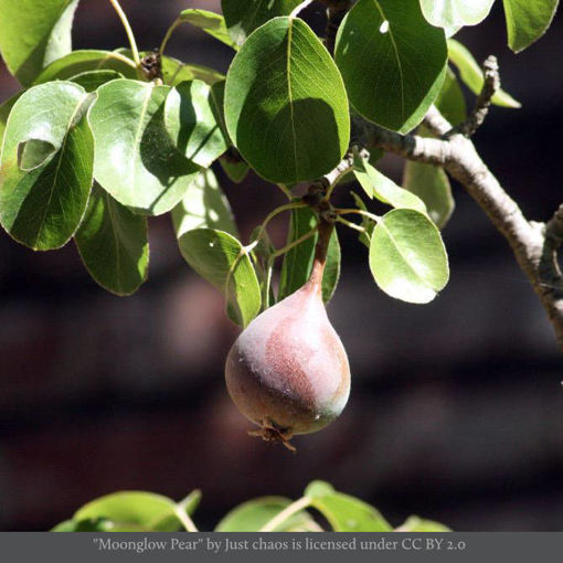 Picture of Moonglow Pear