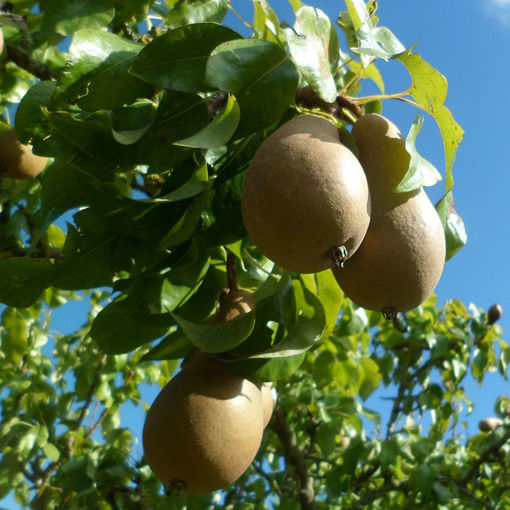 Picture of Ayers Pear