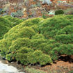 Picture of Dwarf Mugo Pine