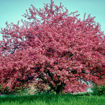 Picture of Robinson Crabapple