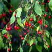 Picture of Weeping Red Jade Crabapple