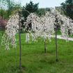 Picture of Weeping Yoshino Flowering Cherry