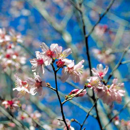 Picture of Okame Flowering Cherry
