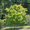 Picture of Rising Sun™ Redbud