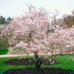 Autumnalis Flowering Cherry