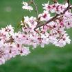 Autumnalis Flowering Cherry Leaf Detail Closeup