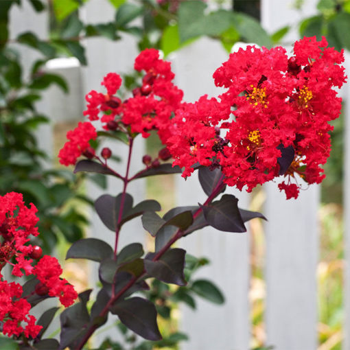 Picture of Center Stage® Red Crapemyrtle