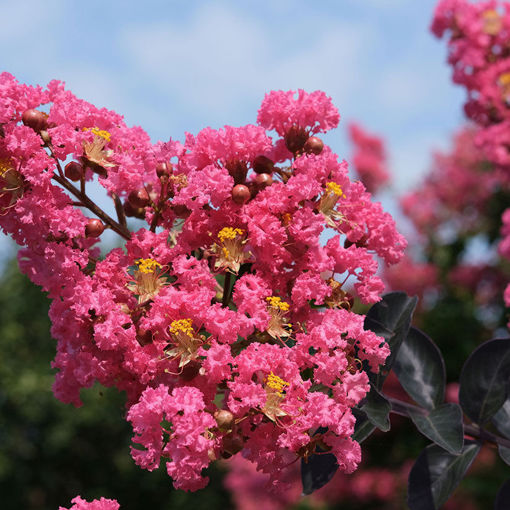 Picture of Center Stage® Pink Crapemyrtle