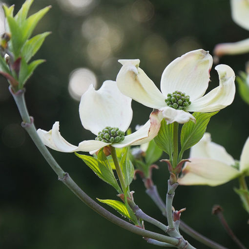 Picture of Cherokee Princess® White Dogwood