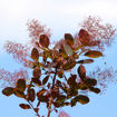Picture of Royal Purple Smoketree