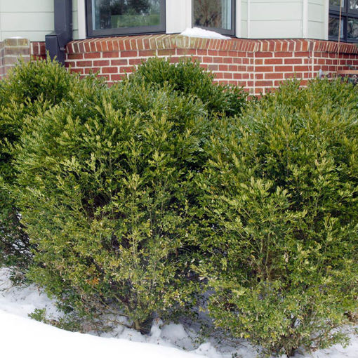 Picture of Winter Gem Boxwood