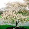 Picture of Shadblow Serviceberry